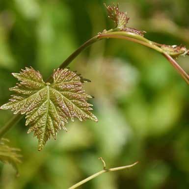 Problemen wijn- en fruitoogst na strenge vorst